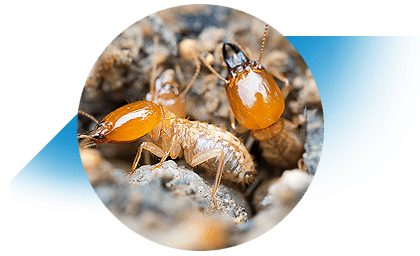 Termites Gold Coast protection